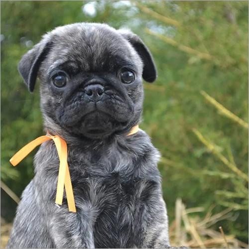 Mauwat Pug Puppies