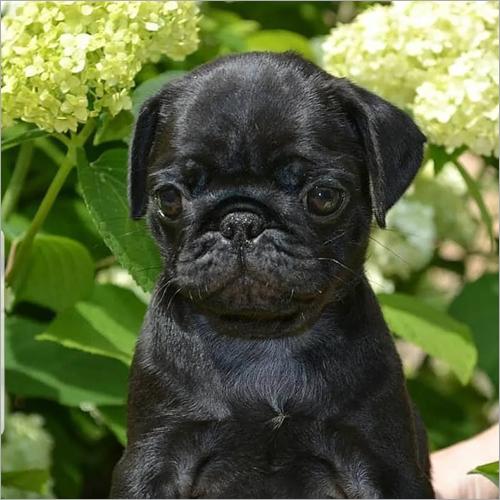 Jack Pug Puppies
