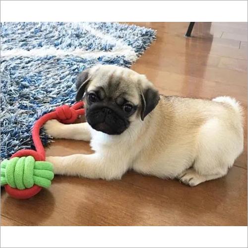Bobm Pug Puppies