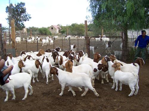 Pure Breed LIVE Boer Goats / 100% Full Blood Boer Goats