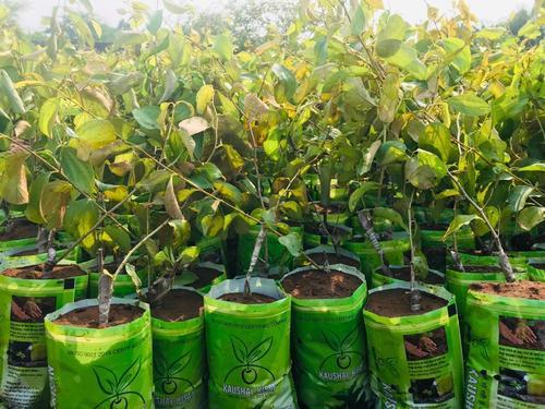 Thai Apple Bor Plant