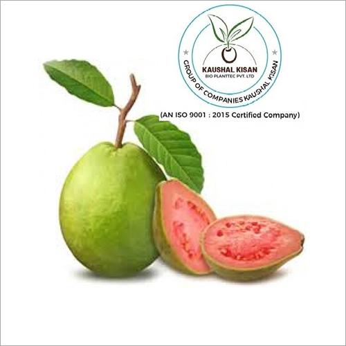 Thai Pink Guava Plant