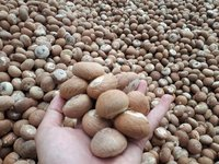 Organic Betel Nuts For Sale