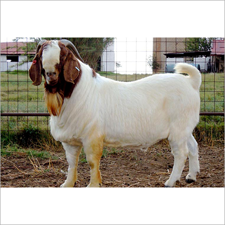 Goats Live Stock