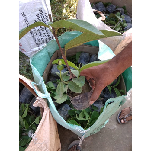 Baraipuri Guava Plant