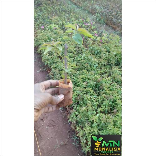 BougainVillia plant