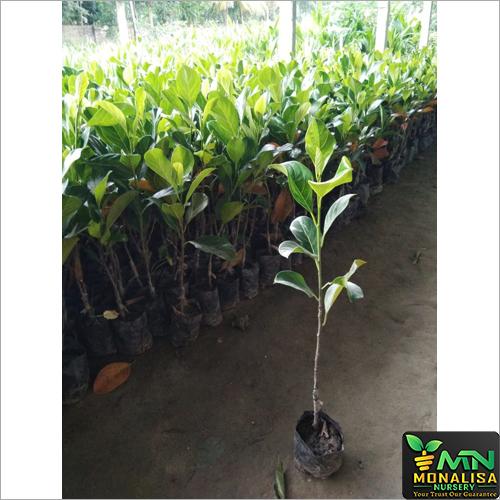 Jackfruit Plant