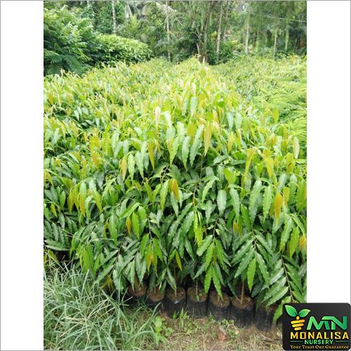 Deodar Plant