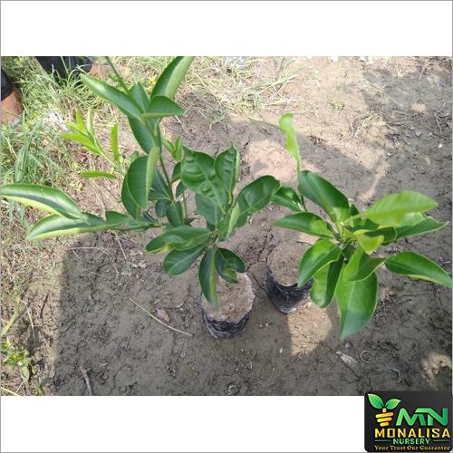 Malta Lemon Plant