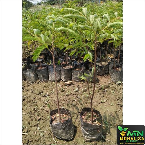 Sweet Imli Plant
