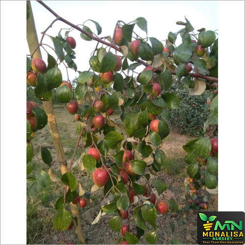 Sundori Apple Ber Plant