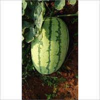 Taruni F1 Hybrid Watermelon seeds
