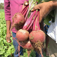 Hybrid Beet Root Rubyco 186-Imported