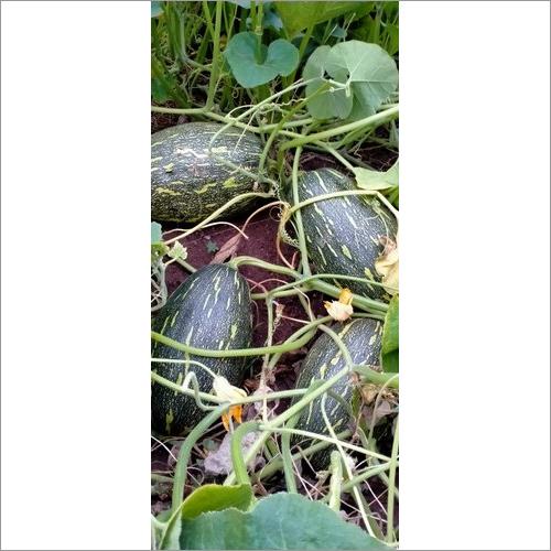 Hybrid Pumpkin F1 Seeds