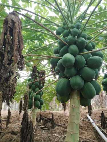 Garden Fresh Papaya