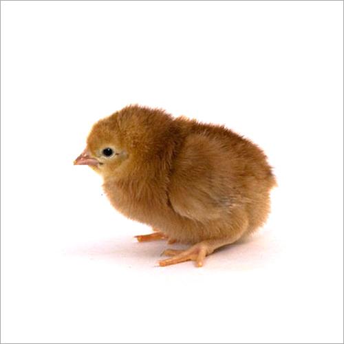 RIR Chick