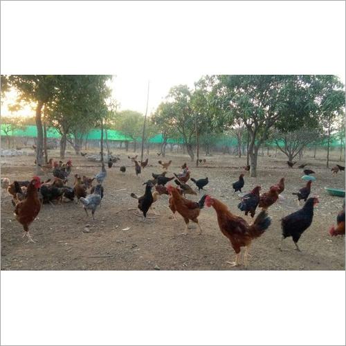 Natukodi Chicken