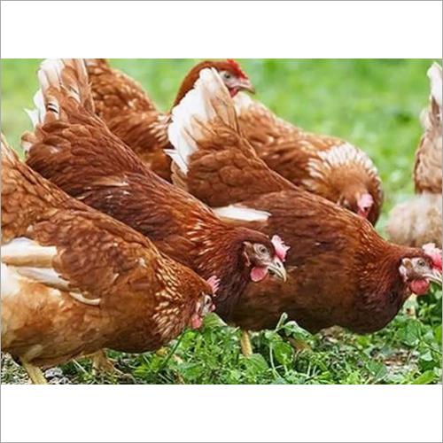 Poultry BV 380 Chicken
