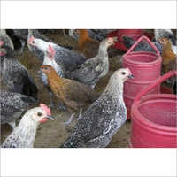 Poultry Sonali Chicken