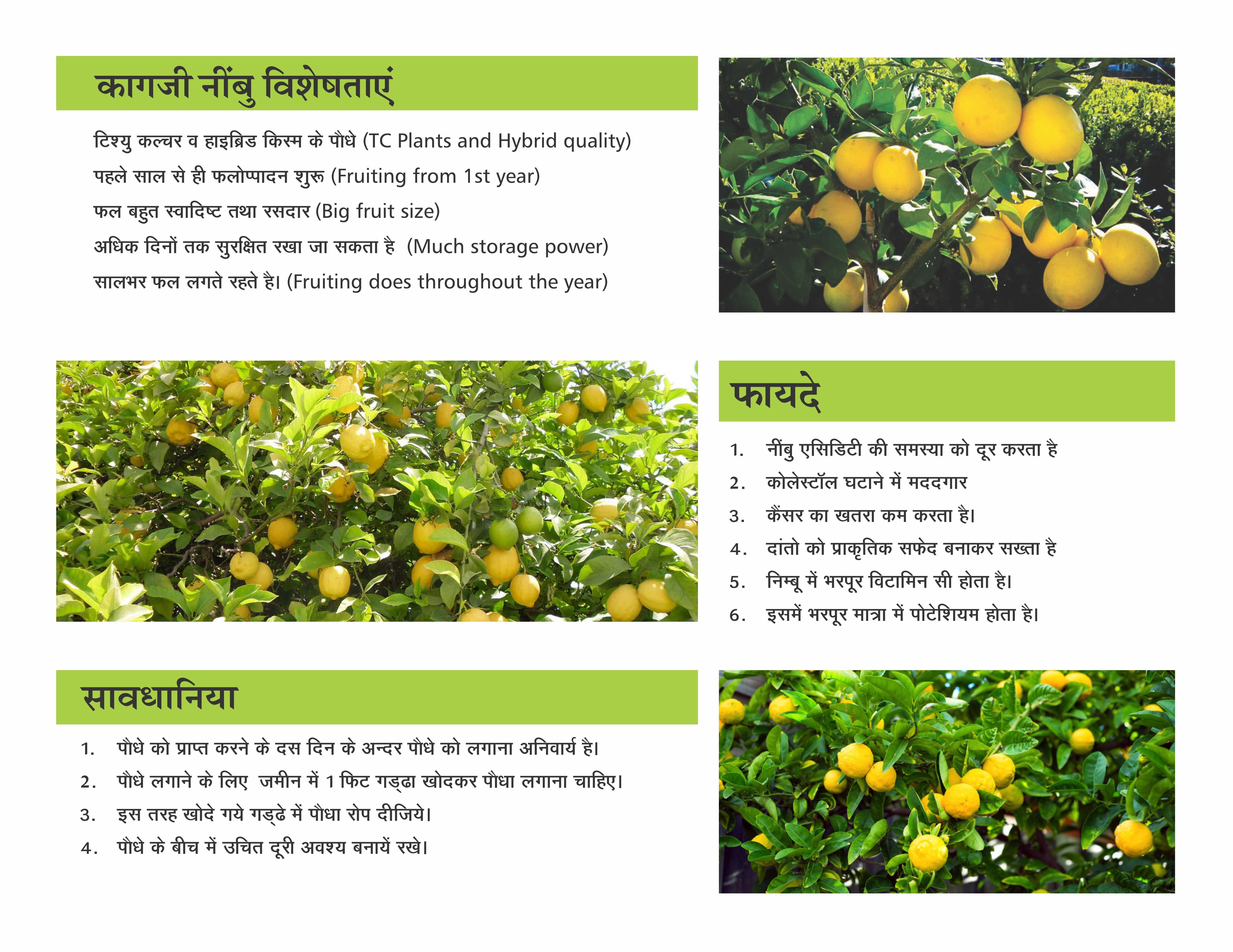 Kagazi Lemon Tissue Culture Plant