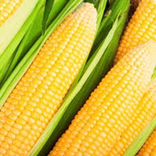 Fresh Natural Sweet Corn