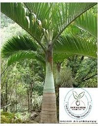 Bottle Palm Plant