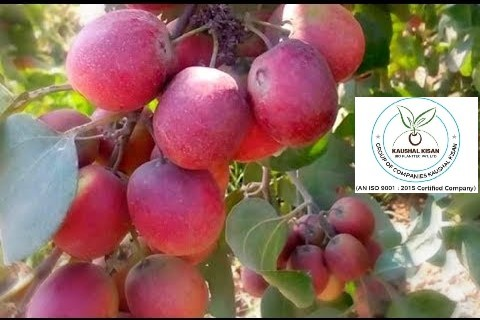 Thai Red Apple Ber Plant