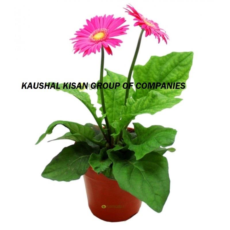 Green Rose Plant