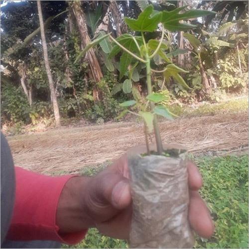 Papita Plant