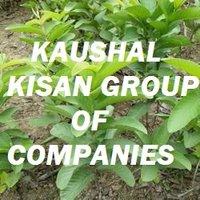 Baraf Khana Guava Plant