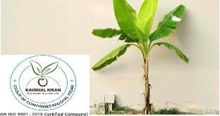 Banana Tissue Culture Plant
