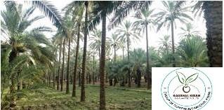Khajoor Plant
