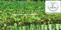 Teak Tissue Culture Plant
