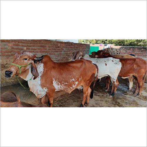 Indian Gir Cow