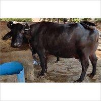 Black Murrah Buffalo