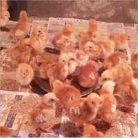 Rir Chicks