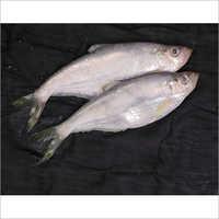 Kati Fish