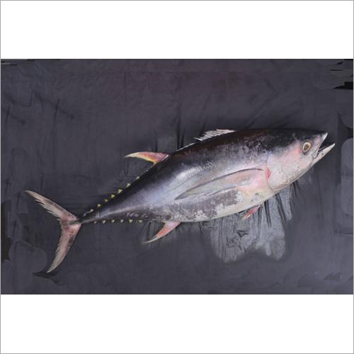 Yellwo Fin Fish