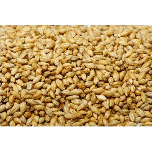 Pure Barley Grain