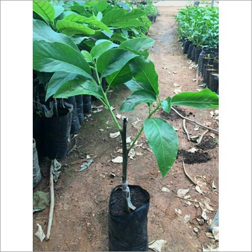 Avocado Grafted Plant