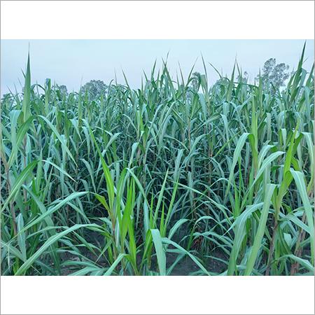 Smart Napier Grass