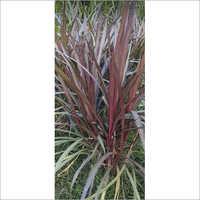 Bh 18 Napier Grass