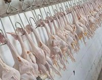 2000-4000pcs Chicken Slaughter Machine Chicken Goose Slaughter Processing Line