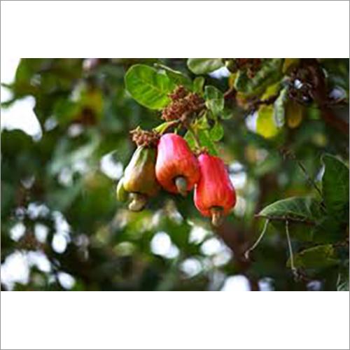 Harvest Cashew Nut