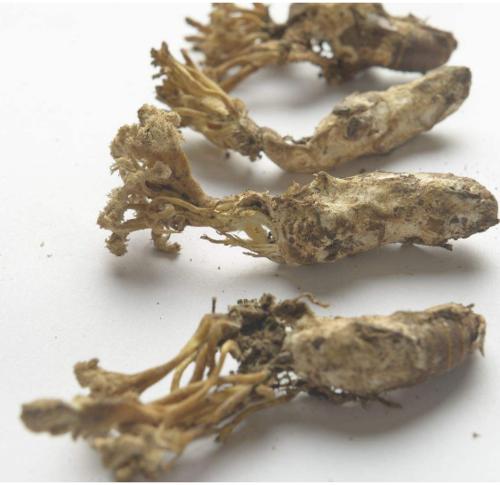 Add To Compareshare Jin Chan Hua Chinese Rare Herbal Medicine Dried Cordyceps Cicadae