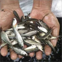 Mriggle Fish Seed