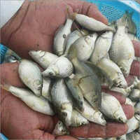 Common Carp Fish Seed