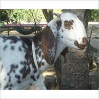 Beetal Goat