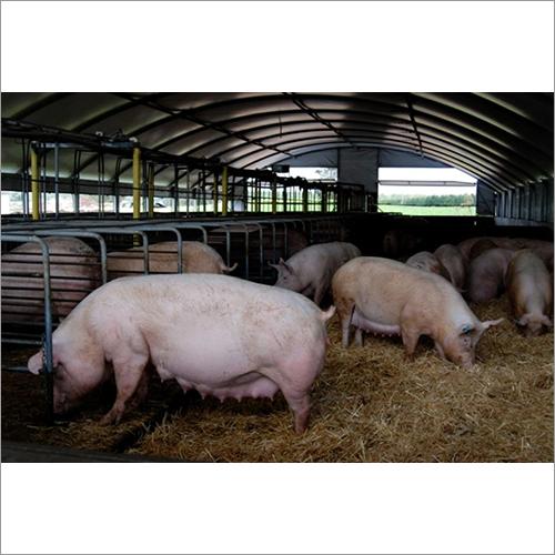 Breeder Pig