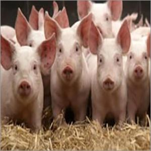 Piglets Pig